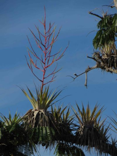 Visiting the Amazon in Ecuador: Swamp trees, Macrolobiums, at Cuyabeno are frequently seen on Amazon visits in Ecuador.