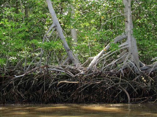 TOP 100 ECUADOR CULTURE FUN FACTS [INFORMATION]: Mangrove forests at the Padific coast of Ecuador